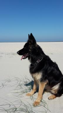 Herder op strand van Renesse